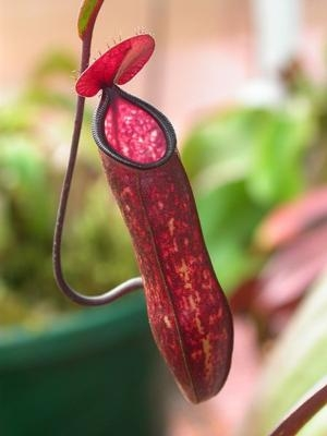 Pitcher-Plant-Public-Domain-0114a